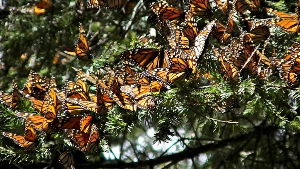 Monarch butterfly trip